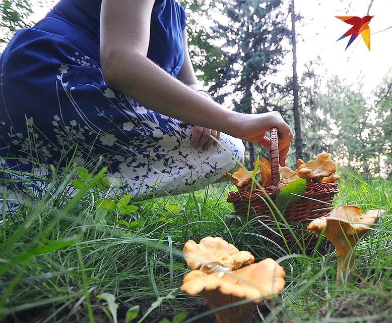 Когда собирать грибы лисички. где растут лисички - onwomen.ru