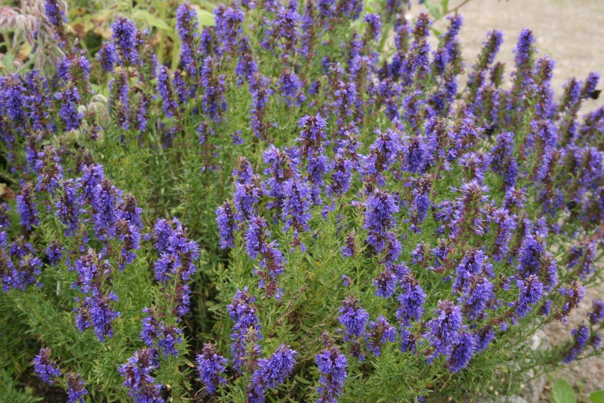 О пряной траве иссоп: лечебные свойства и противопоказания, применение в медицине и кулинарии