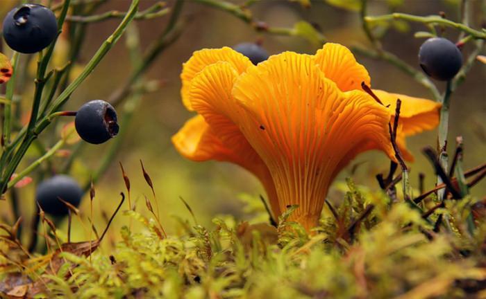 Где растут лисички? где их собирать? грибы лисички: как выглядят, когда собирать, где искать.