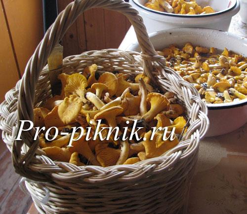 Грибы лисички: где и когда собирать лисички, полезные свойства лисичек, жареные лисички с картошкой (рецепт)