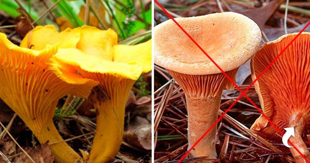 Лисички в каких лесах растут — ягоды грибы