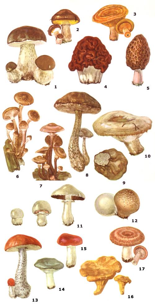 Описание белого гриба и его форм, полезные свойства, двойники