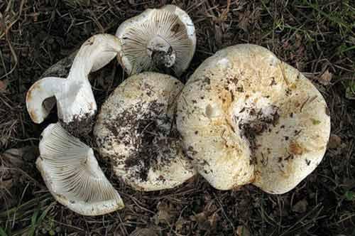 Желчный гриб (ложный белый): отличительные особенности и свойства