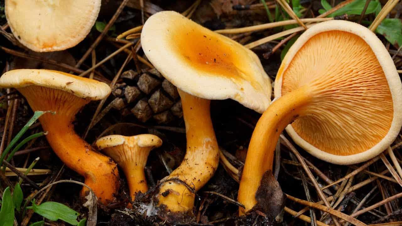 Когда можно собирать грибы лисички? грибы лисички: как выглядят, когда собирать, где искать