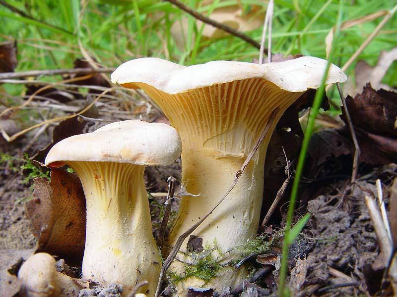 Лисички: описание популярного гриба с уникальными лечебными свойствами, где растут и когда собирать