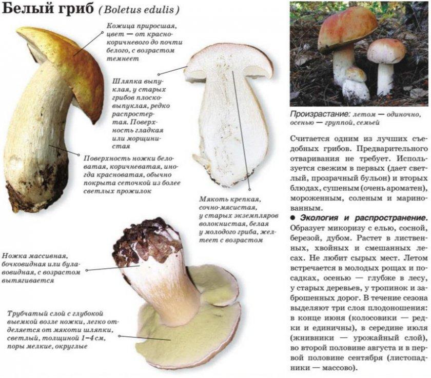 Гриб зонтик: общее описание вида, где растет и когда собирать представителя семейства шампиньоновых