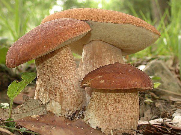 Какие грибы можно есть без вреда для здоровья? список съедобных грибов