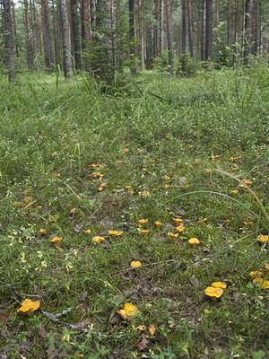 А вы пробовали выращивать грибы лисички?