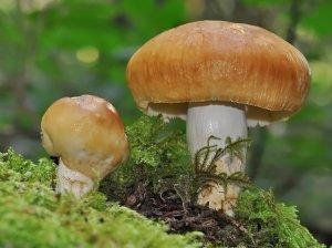 Первые грибы: когда искать и как не пострадать
