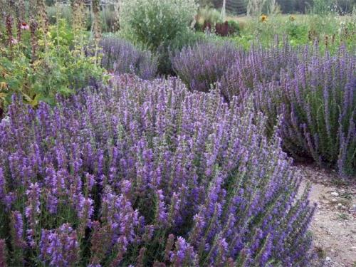 Иссоп: описание с фото, полезные свойства и противопоказания средиземноморского растения