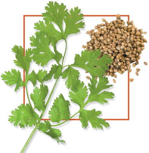 Кинза и кориандр — это одно и то же растение?