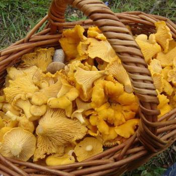 Сколько растут грибы лисички