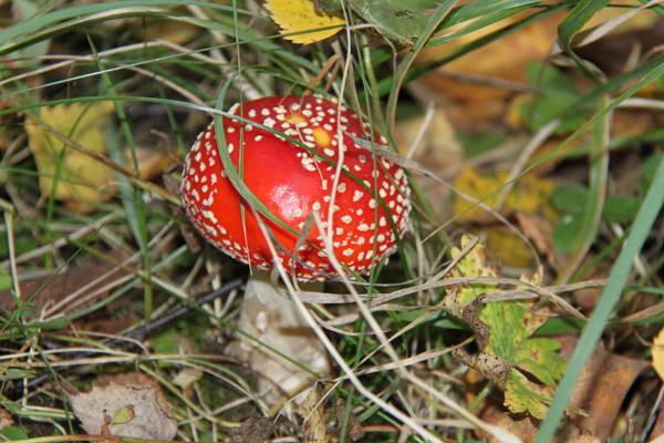 В каких лесах растет белый гриб? когда собирать белый гриб? грибные места